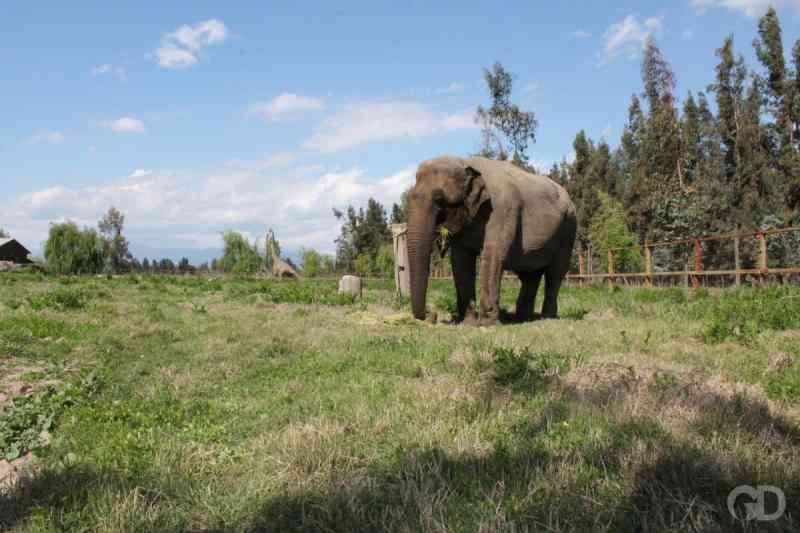 Nova elefanta chegará a MT e viagem tem custo de RS 500 mil