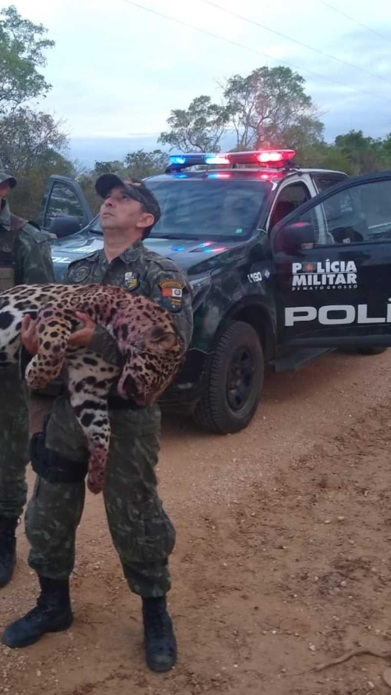 Onça-pintada foi encontrada morta nessa segunda-feira (7) supostamente depois de ter sido atropelada na MT-060, a Transpantaneira, na região do Pantanal, em Poconé — Foto: Batalhão de Polícia Militar de Proteção Ambiental (BPMPA)
