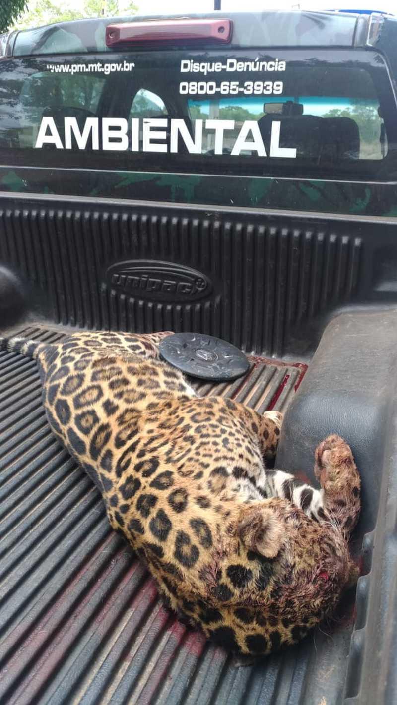 Onça-pintada morreu atropelada em estrada no Pantanal de Mato Grosso — Foto: Batalhão de Polícia Militar de Proteção Ambiental (BPMPA)