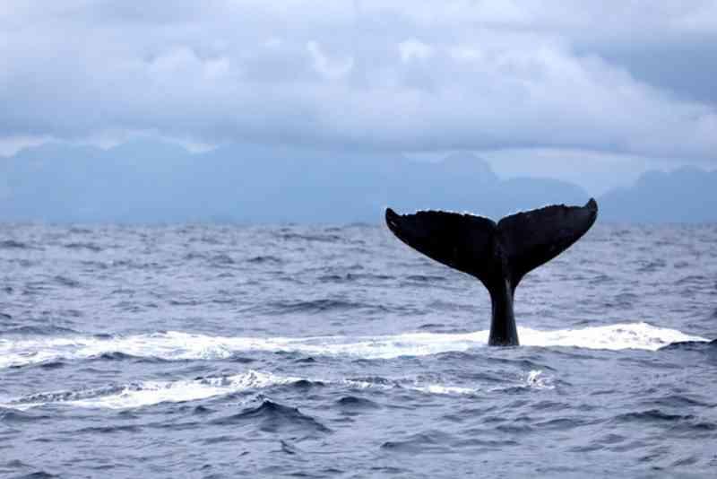 Mancha de petróleo avança no Nordeste e biólogos temem que afete reprodução de baleias