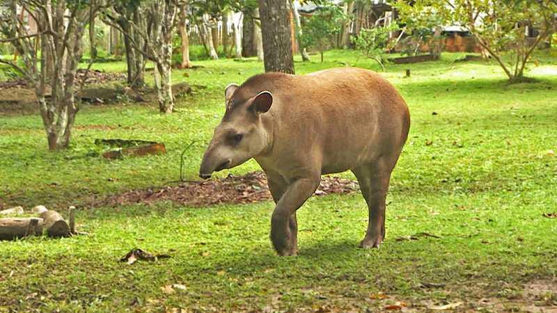 A espécie Tapirus terrestris, a anta, é considerada ameaçada de extinção e está na categoria vulnerável — Foto: Toni Mendes/ TG