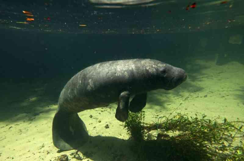 ONG reabilita peixe-boi marinho encalhado em armadilha de pesca