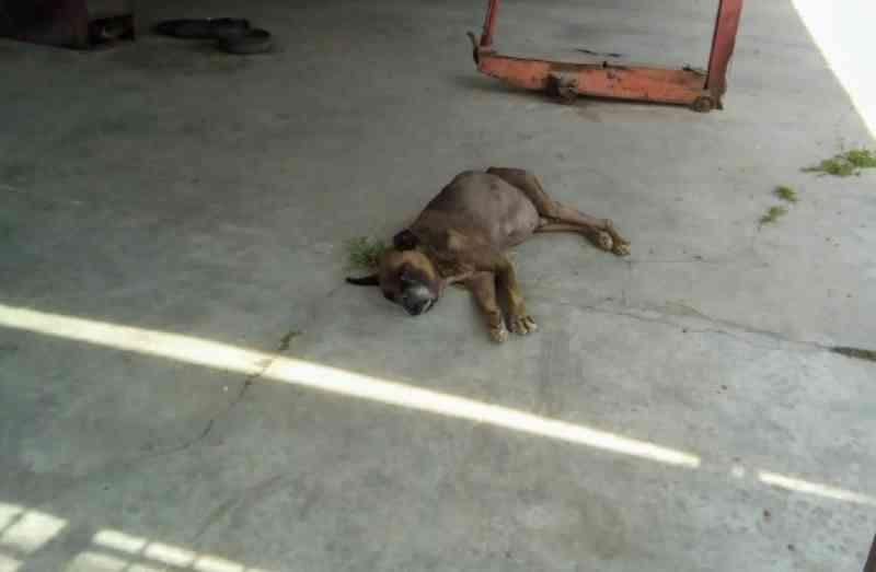 Polícia resgata cão com câncer e prende tutor por maus-tratos em Colombo, PR