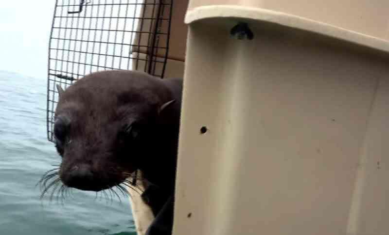 Lobo-marinho resgatado em Pontal do Paraná é devolvido ao mar após 45 dias de tratamento; VÍDEO
