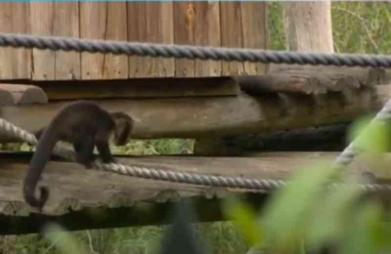Portugal: Macaco fugiu do Zoo de Lisboa e foi visto a andar na estrada