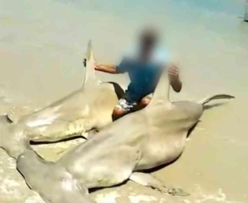 Idema investiga pesca de tubarões-martelo em reserva do RN; veja vídeo