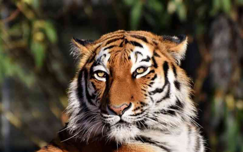 Tigre sem uma pata ganhará prótese no Reino Unido
