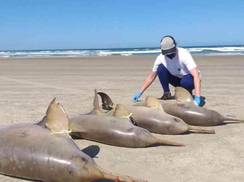 Cinco toninhas são encontradas mortas na Praia do Sol em Laguna, Sul de SC