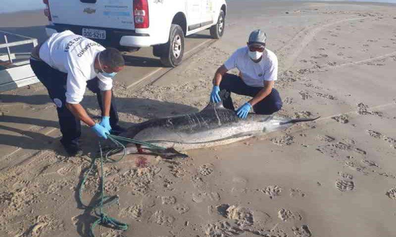 Golfinho-listrado é encontrado morto em praia de Laguna, SC