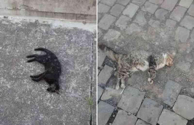 Crueldade sem limites: animais são envenenados no centro de São Joaquim, SC
