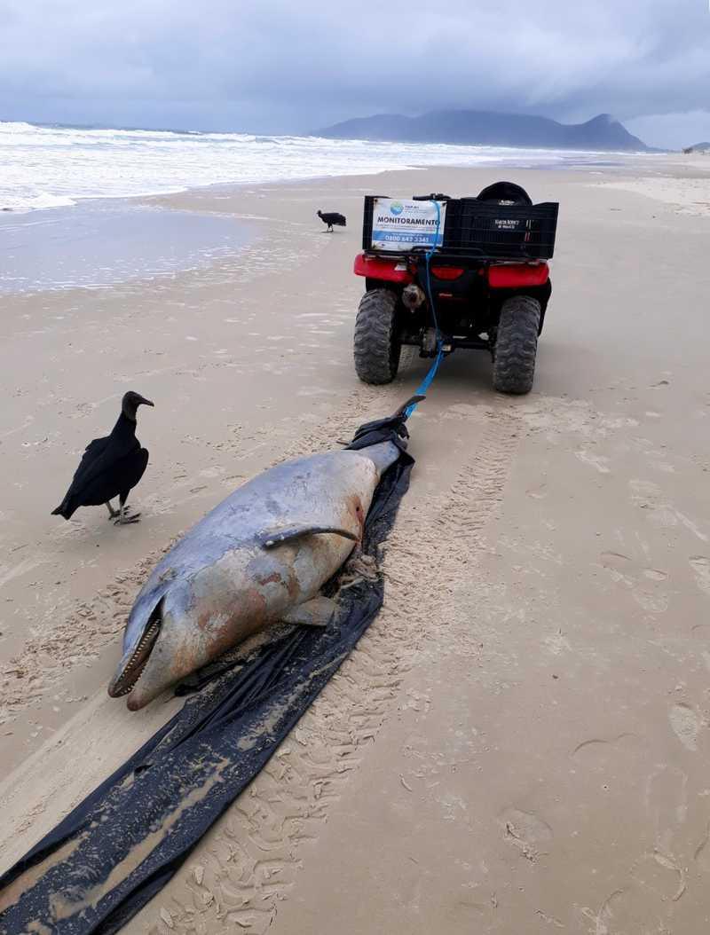 https://g1.globo.com/sc/santa-catarina/noticia/2019/10/15/golfinho-e-encontrado-morto-na-praia-do-campeche-em-florianopolis.ghtml