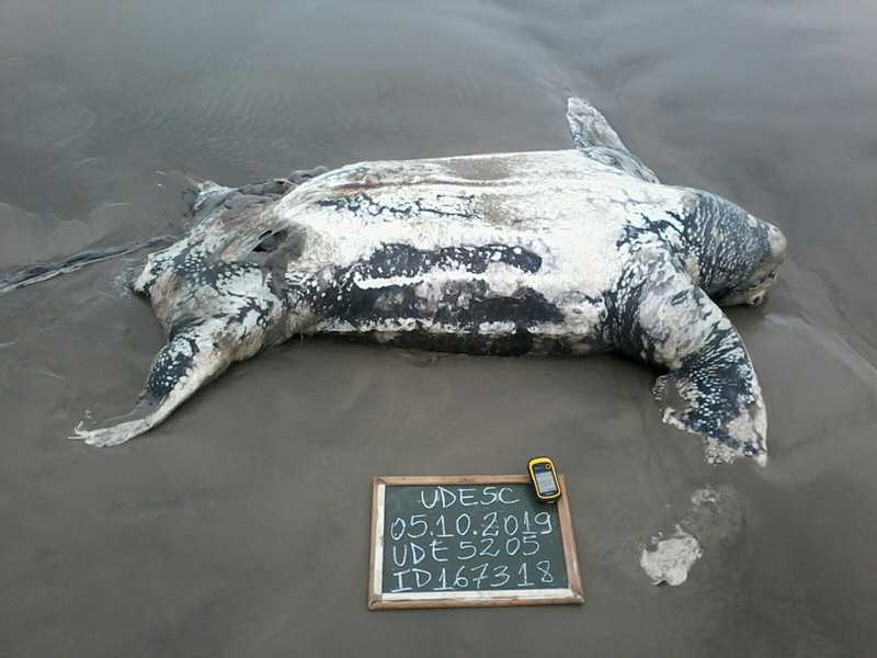 Tartarugas apareceram mortas em praias de Laguna — Foto: PMP e Udesc/Divulgação