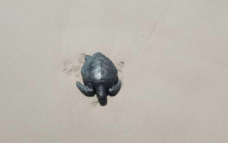 Tartaruga juvenil encontrada morta — Foto: TAMAR