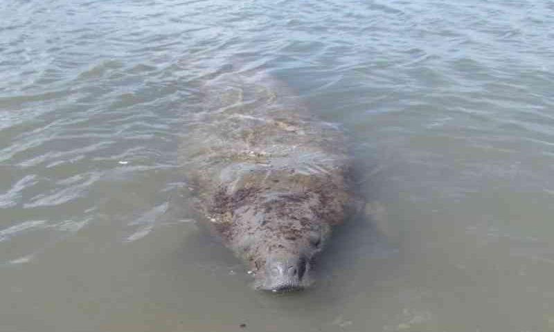 Manchas de óleo ameaçam peixe-boi monitorado por biólogos de Sergipe