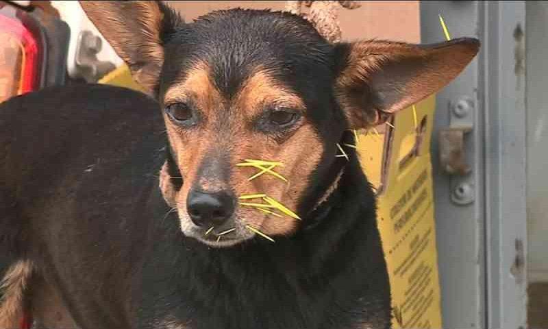 Araras (SP) registra 40 acidentes de cães com ouriços este ano