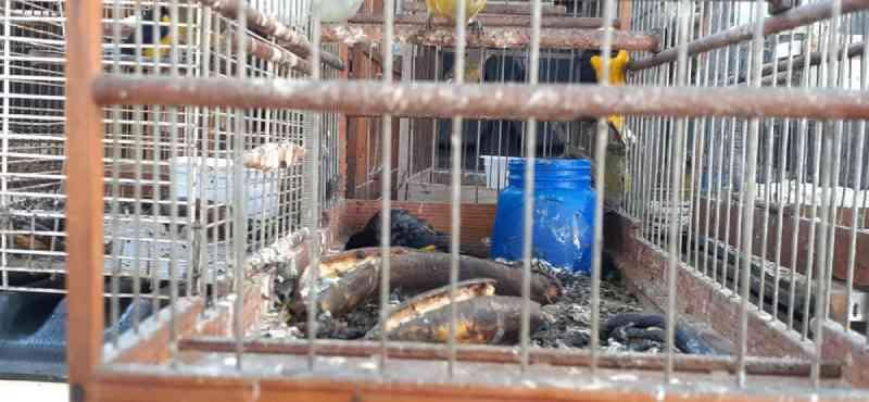 Homem é multado em quase R$ 100 mil após ser flagrado com pássaros silvestres com sinais de maus-tratos em Bauru, SP
