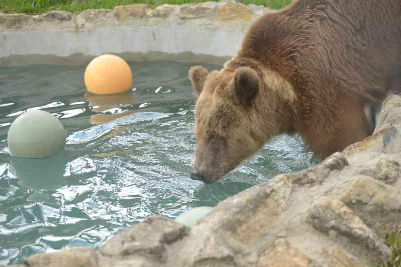 Transferida de SE, ursa Xuxa é solta em santuário de animais no interior de SP; FOTOS