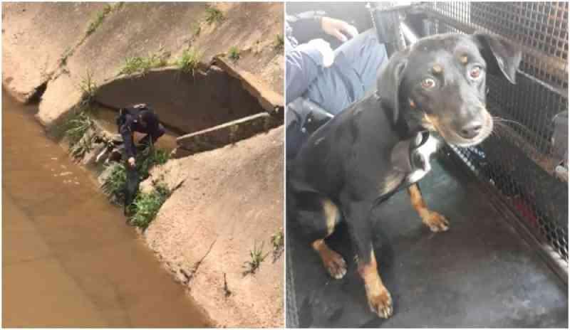 Cachorro é resgatado por guardas municipais após cair em rio; vídeo