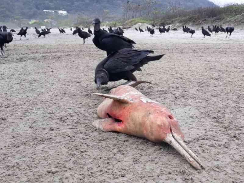 Pescadores mutilam toninha grávida para observar bebê em praia de SP