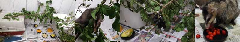 """Com banheiro adaptado de """"mata"""" gambás escalaram árvores, buscaram frutas escondidas e se deliciaram com alimentos silvestres — Foto: Mireille Macarini Salera Penteado/Acervo Pessoal"""