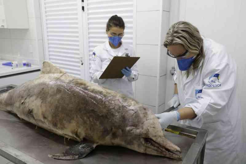 Banhistas encontram boto-cinza morto na orla de Praia Grande, SP