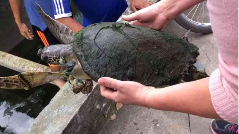 Tartaruga fica presa em canal e é resgatada por moradores em Santos, SP