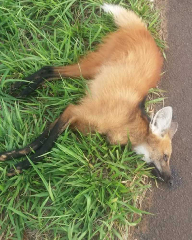Mais um lobo-guará morre atropelado na região de Bauru, SP