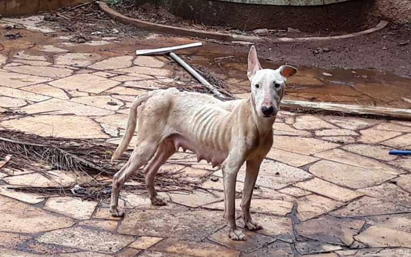 Fêmea da raça bull terrier com sinais de desnutrição foi resgatada em quintal de casa vazia em Barretos, SP — Foto: Polícia Militar Ambiental/Divulgação