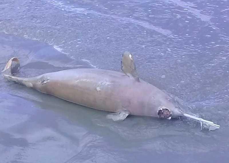 Outra toninha foi encontrada morta no último dia 27 na praia de Indaiá, em Bertioga, SP — Foto: Divulgação/Gremar