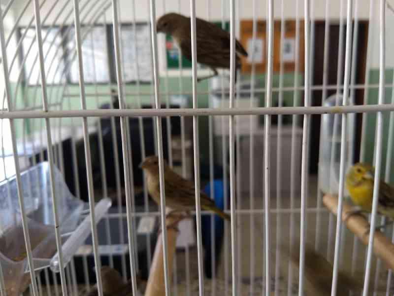 Homem é detido após ser flagrado com pássaros silvestres presos dentro de cano