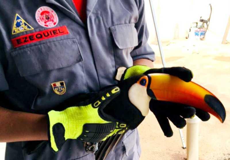 Tucano resgatado pelos bombeiros em Paraguaçu Paulista pode ser devolvido à natureza — Foto: Corpo de Bombeiros/Divulgação