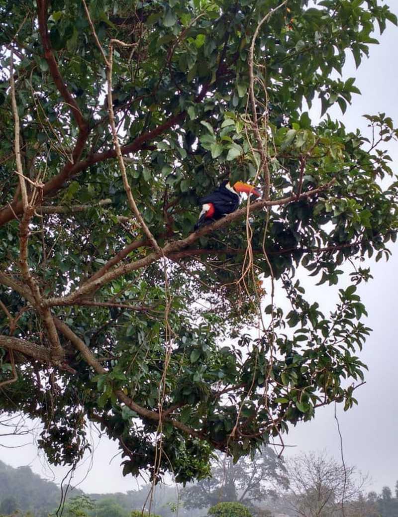 Tucano já está no seu habitat em Paraguaçu Paulista — Foto: Corpo de Bombeiros/ Divulgação
