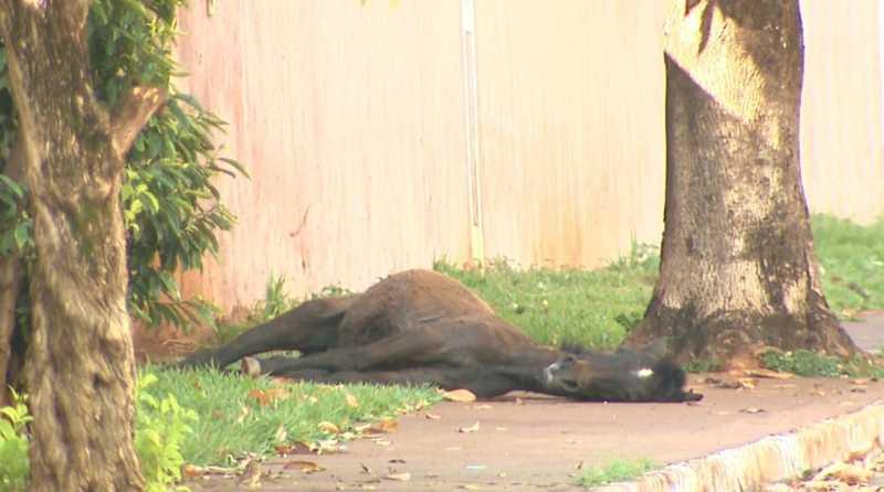 Potro deita na calçada de rua no bairro Jardim Palmares em Franca, SP — Foto: Reprodução/EPTV