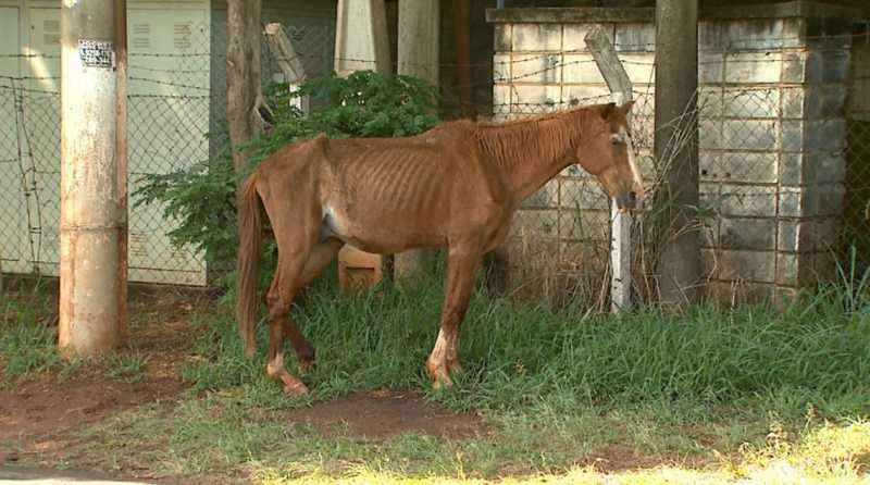 Animal com sinais de desnutrição circula pela Avenida Thomaz Alberto Whately, em Ribeirão Preto, SP — Foto: Reprodução/EPTV