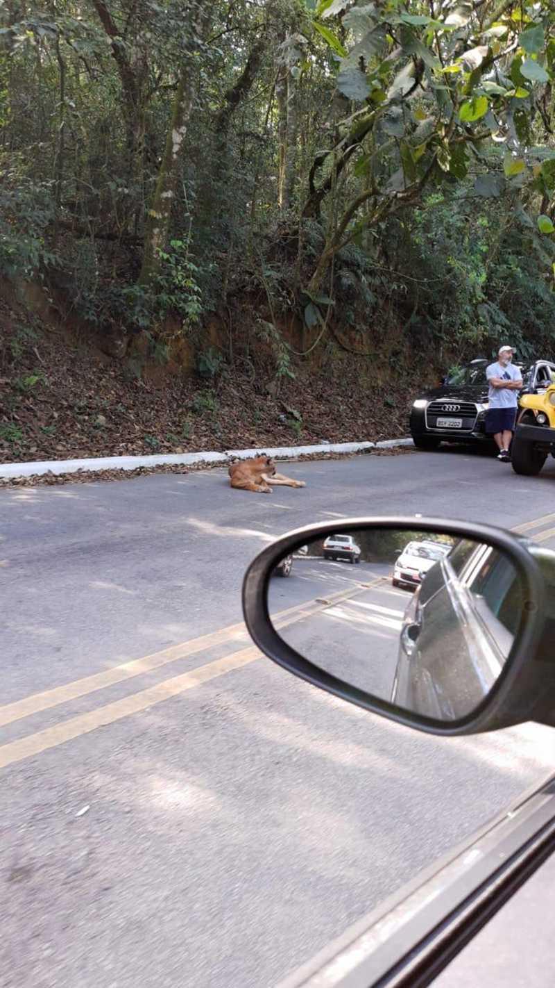 Onça-parda deitada no chão após ter sido atropelada; a Guarda Civil Metropolitana (GCM) faz buscas no local. — Foto: Divulgação/Polícia Ambiental