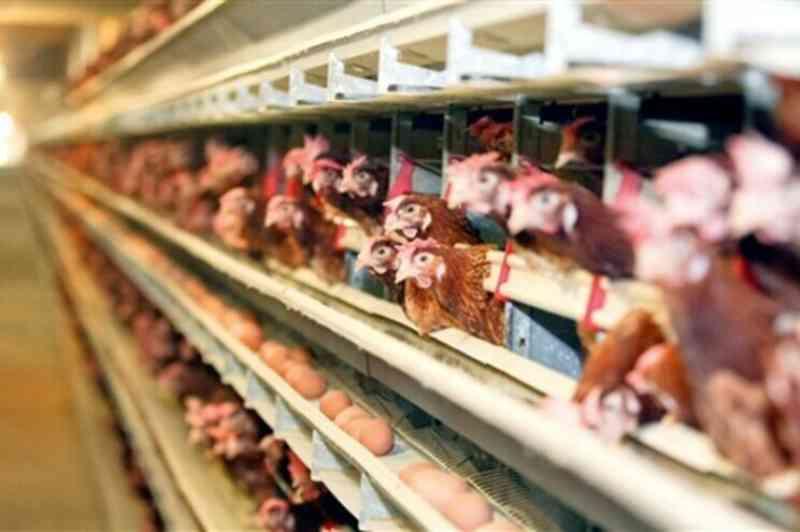 Suíça emenda lei para proibir trituração de frangos vivos