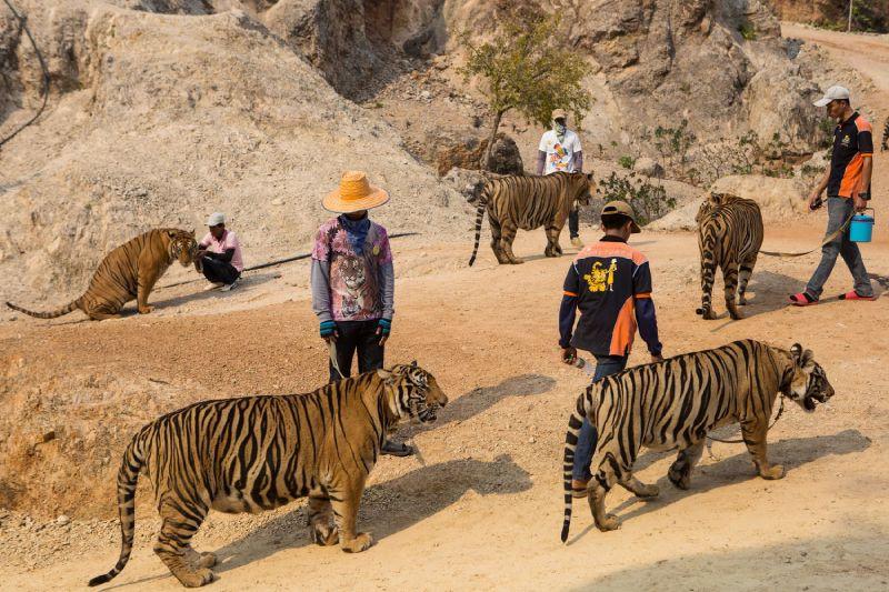 Famoso templo tailandês de tigres foi fechado, mas o problema só piora