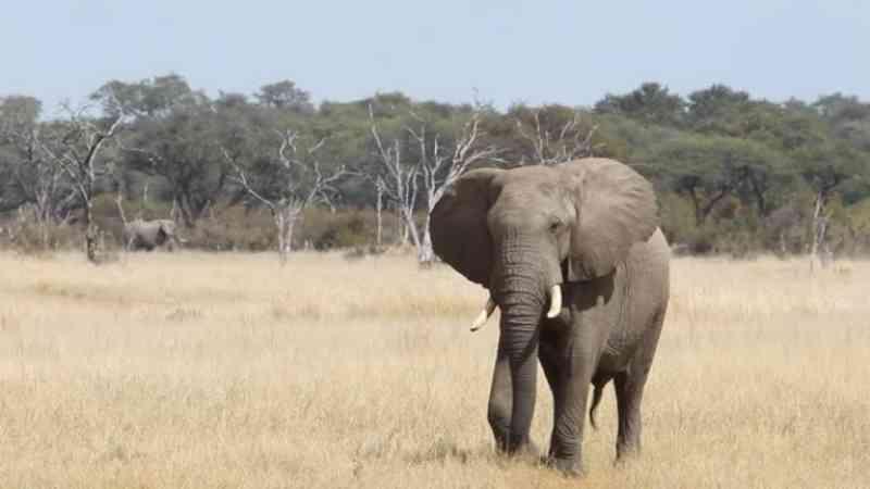 Pelo menos 55 elefantes morreram de fome nos últimos meses em parque nacional do Zimbabué