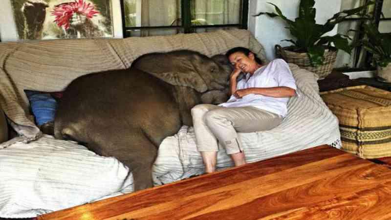 Bebê elefante é salva da morte e não consegue parar de seguir resgatadora