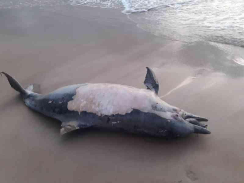 Golfinho é encontrado morto na Praia do Francês; 4º caso em dois dias em AL