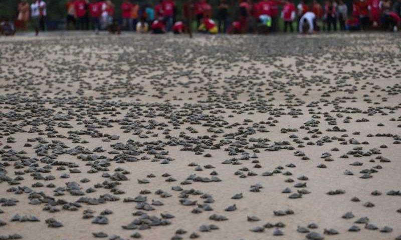 Mais de 51 mil filhotes de quelônios são devolvidos à natureza no AM — Foto: Sema/Divulgação