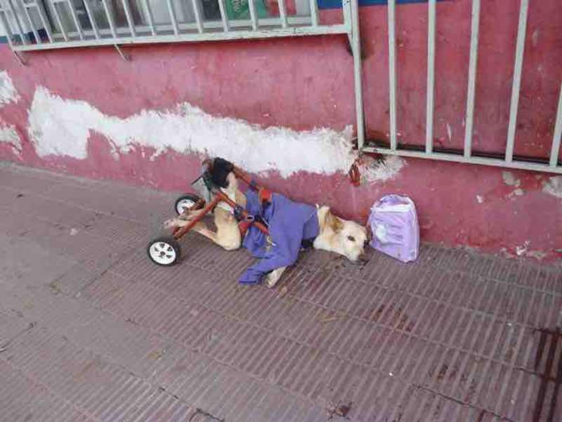 Cadela foi abandonada na cadeira de rodas sem água ou comida e acorrentada a um portão