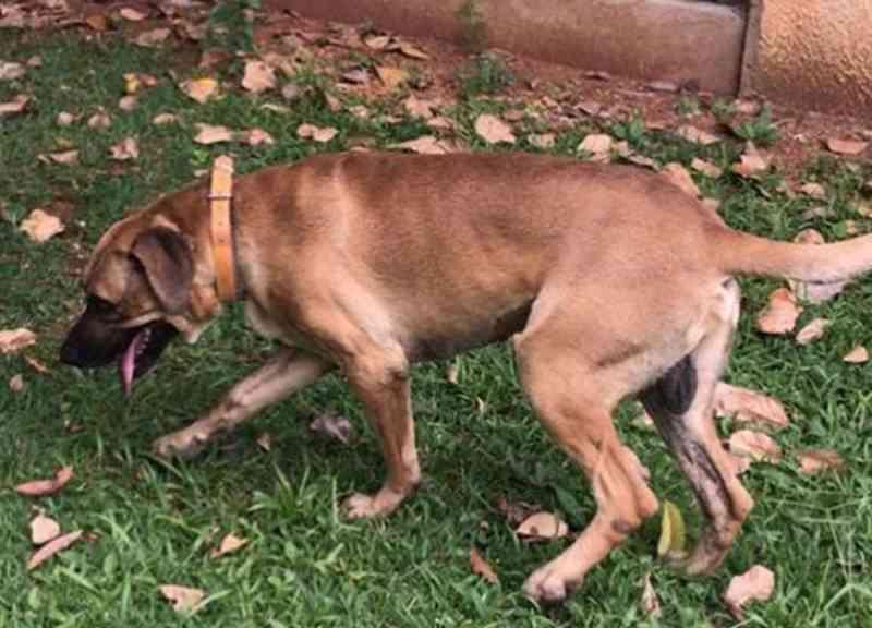 Após adoção, associação aponta empresário por maus-tratos a cachorro, em Brasília, DF