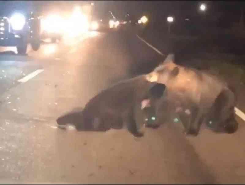 Urso invade estrada para resgatar filho atropelado por carro