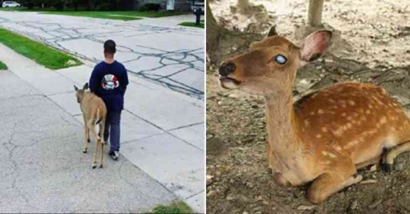 Antes de ir para a escola, menino ajuda cervo cego a procurar comida