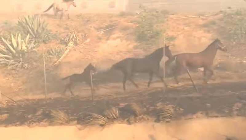 Cavalo volta para a área de risco em incêndio para salvar outros cavalos (Foto: Reprodução/CBS Los Angeles)