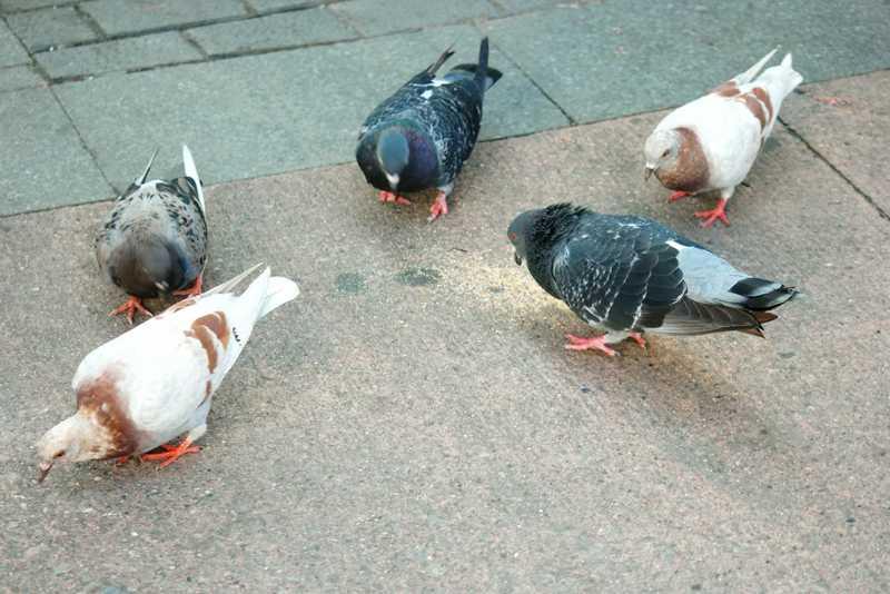 Pombos estão a perder dedos devido a cabelos humanos