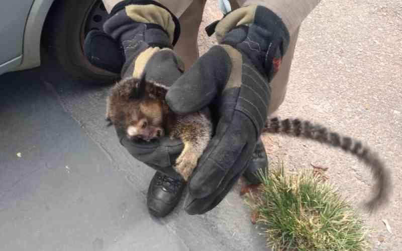 Bombeiros resgatam filhote de macaco dentro de painel do carro após ser atropelado, em Goiânia, GO