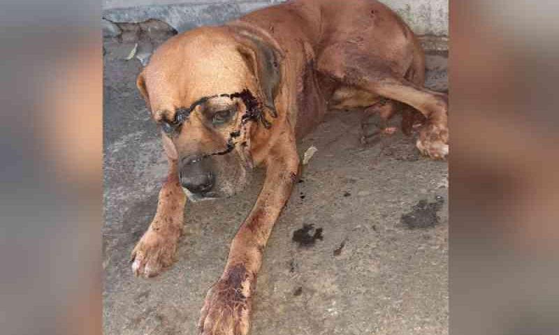 Cachorro é esfaqueado na cabeça e grupo faz campanha para pagar tratamento, em Pires do Rio, GO