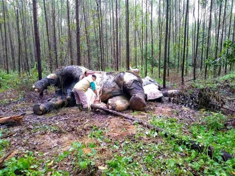 Elefante de Sumatra é encontrado decapitado na Indonésia